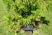 Memorial tree planted in Maple Grange Community Park